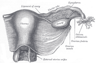 "Uterine appendages - Uterus and right broad ligament, seen from behind. (In this orientation, the contents ""in front"" of the broad ligament are posterior to it.)"