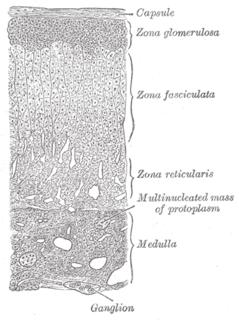 Zona fasciculata