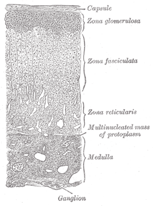 Adrenal medulla - Medulla labeled at bottom right.