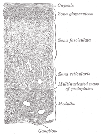 Adrenal cortex - Layers of cortex.