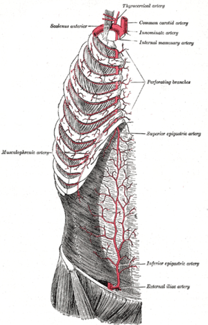 The internal mammary artery and its branches.