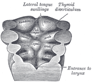 Median tongue bud - Floor of pharynx of human embryo about twenty-six days old.