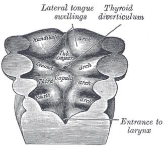 Median tongue bud - Floor of pharynx of human embryo about twenty-six days old.