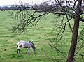 Grazing near Wombourne, Staffordshire - geograph.org.uk - 629003.jpg