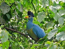Great Blue Turaco (Corythaeola cristata) (6807900043).jpg