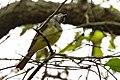 Great Crested Flycatcher Sabine Woods TX 2018-04-14 09-48-21 (41809568931).jpg