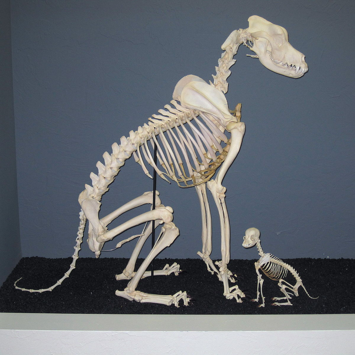 Maceration Bone Wikipedia Gallery Images And Information Snake Skeleton Diagram