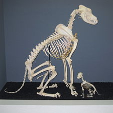 Great Dane and Chihuahua Skeletons.jpg