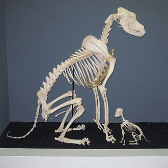 Osteology - Comparison of Great Dane and Chihuahua skeletons at the Museum of Osteology, Oklahoma City, Oklahoma.