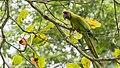 Great Green Macaw, Gavilan Lodge, Costa Rica, January 2018 (40394669981).jpg