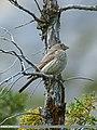 Great Rosefinch (Carpodacus rubicilla) (19622987034).jpg