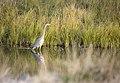Great blue heron on a side channel of the Green through Seedskadee (14651809477).jpg