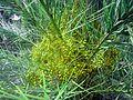 Green Date-palm.jpg