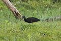 Green Ibis (Mesembrinibis cayennensis) (5771884161).jpg
