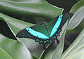 Green Swallowtail Butterfly (2764964369).jpg