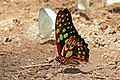Green lady (Graphium cyrnus) underside.jpg