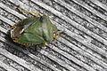 Green shield bug (6986448386).jpg