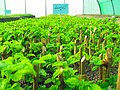 Greenhouses in mahallat 20.jpg