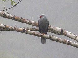 Grey-headed Goshawk Accipiter poliocephalus, Papua New Guinea 1.jpg