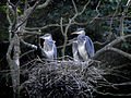 Grey Heron Nest (5598231235).jpg