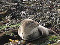 Grey Seal ( Halichoerus grypus), Rathlin Island.jpg