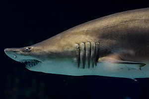 Grey nurse shark at the Minnesota Zoo
