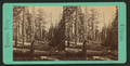 Grizzly Giant, 101 ft. circmference, 8 ft. from ground, from Robert N. Dennis collection of stereoscopic views.png