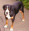 Großer Schweizer Sennenhund.jpg