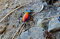 Ground Beetle (Carabus hispanus) (10114343735).jpg