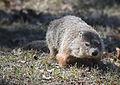 Groundhog032815.jpg