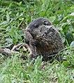 Groundhog (46936500295).jpg