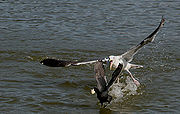 A gull is attacking a coot