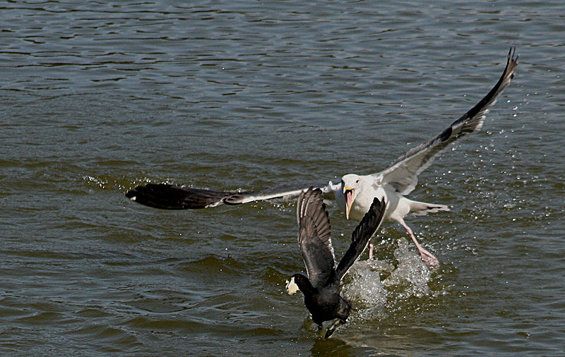 Gull attacking coot.jpg
