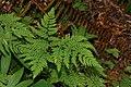 Gymnocarpium dryopteris 0315.JPG