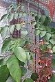 HK 上環 Sheung Wan 水坑口街 Possession Street Footbridge green plants n flowers pink red 楊桃 Averrhoa carambola Sept 2017 IX1 03.jpg