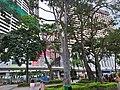 HK CWB 銅鑼灣 Causeway Bay 維多利亞公園 Victoria Park trees June 2019 SSG 03.jpg