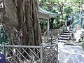 HK Kennedy Town 青蓮臺 Ching Lin Terrace tree trunk outdoor stairs Aug-2010.JPG