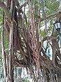 HK SW 上環 Sheung Wan卜公花園 Blake Garden 老榕樹 Chinese banyan tree 氣根 root n trunk February 2020 SS2 08.jpg