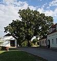 HL-068 Quercus CF9A1685.jpg