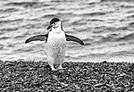 Half Moon Island, Antarctica. Chinstrap Penguin (24645019710).jpg