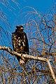 Haliaeetus leucocephalus -George C Reifel Migratory Bird Sanctuary, British Columbia, Canada -juvenile-8.jpg