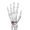 Hamate bone (left hand) 02 dorsal view.png