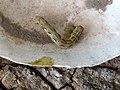 Harderbos - Grote wintervlinder (Erannis defoliaria).jpg