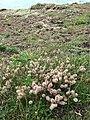 Hare's foot clover (Trifolium arvense) - geograph.org.uk - 930292.jpg
