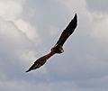 Harris Hawk in flight 3 (6022357849).jpg