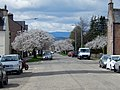 Helensburgh Cherry Blossom in West Princes Street April 2018 DSCN1018.jpg