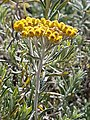 Helichrysum splendidum00.jpg