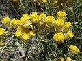 Helichrysumstoechas.jpg
