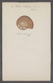 Helix citrina - - Print - Iconographia Zoologica - Special Collections University of Amsterdam - UBAINV0274 089 01 0019.tif
