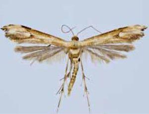 Hellinsia malesanus.JPG